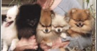 Virginia Beach Pomeranian Breeders