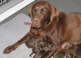 Outer Banks Labrador Breeder