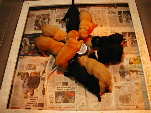 ALBEMARLE KENNELS  in CURRITUCK Adorable Labrador Retriever Pups