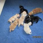 Albemarle Kennels Labrador Pups in Grandy NC Call BU Evans