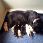 Labrador Pups at Albemarle Kennels