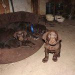 Chocolate Labradors OBX Chocolate Heaven