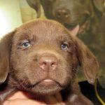 Destiny Female #5, Chocolate Lab Pups