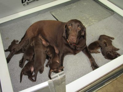 Sahara and Duke Litter, OBX Chocolate Heaven Labradors