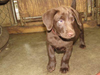 Destiny/Duke Pup NOW Available Female #2