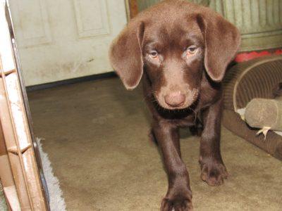 Destiny/Duke Pup NOW Available Female #1