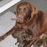 Outer Banks Labrador Breeder