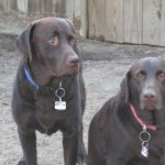 Chocolate Lab Breeders