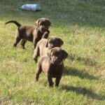 Chocolate Labs Moyock
