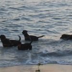 Chocolate Labs swimming