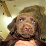 Destiny MALE #2, OBX Chocolate Heaven Labradors