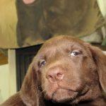 Destiny FEMALE #4, OBX Chocolate Heaven Labradors