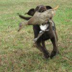 Labrador Duck Hunting